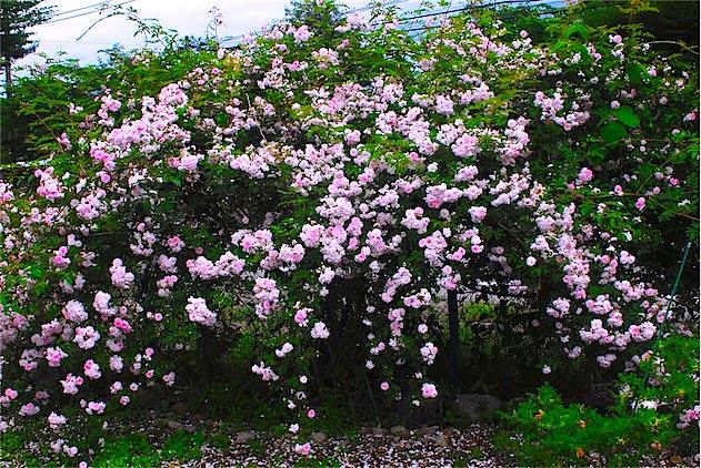 Benasu那須高原の歩き方 那須で見かけた5月から6月初旬の花たち