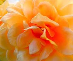 pétales de rose en joie