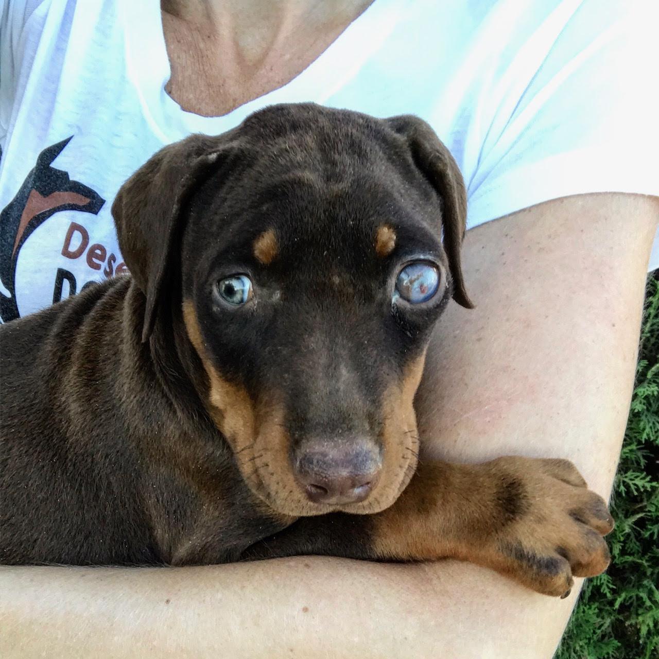 Precious - Doberman Pinscher Puppy for sale | Euro Puppy