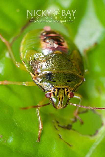 Stink Bug (Pentatomidae) - DSC_0461