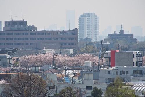 遠くの桜と霞むランドマークタワー
