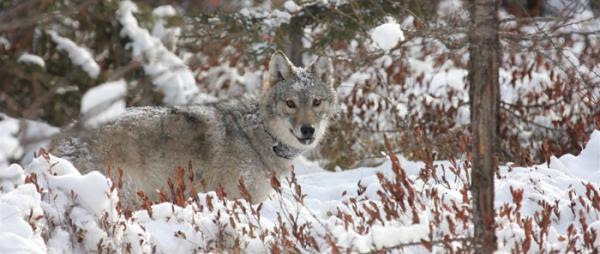 A gray wolf in Wisconsin