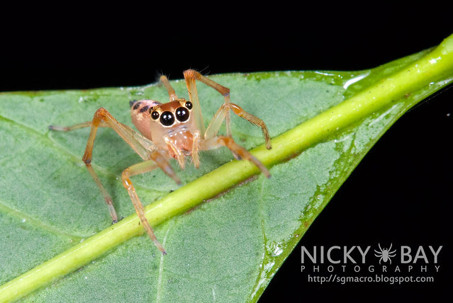 Jumping Spider (Bavia aeroiceps) - DSC_1393