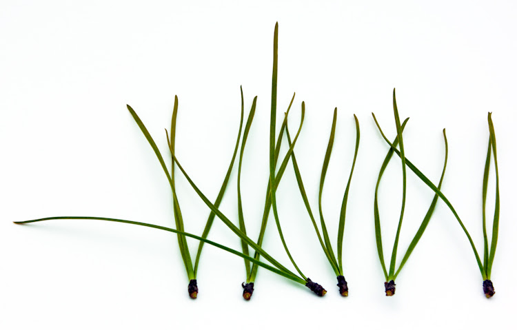 Image result for pine needles