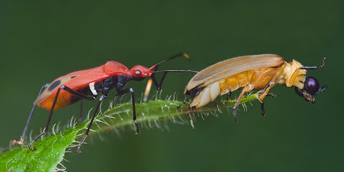 red assassin bug preying on a beetle IMG_9221 copy