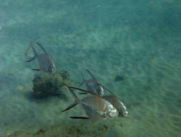 Bermuda - Pompano (group of fish)
