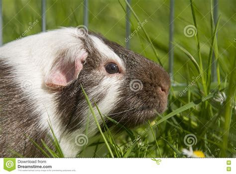 Guinea Pig In The Grass Eating. Royalty Free Stock Photography   CartoonDealer.com #70777835