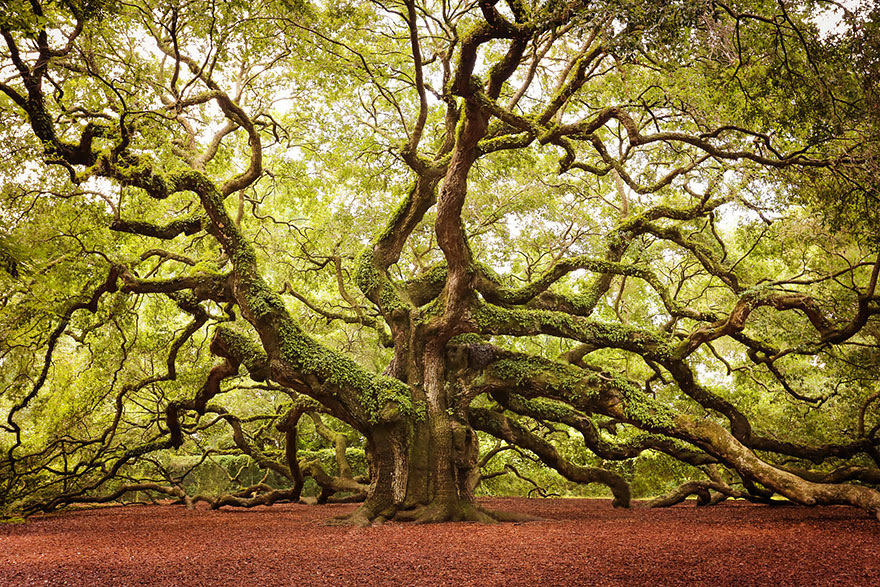 The Angel Oak in South Carolina stands 66.5 ft (20 m) tall and is estimated to be more than 1400 or 1500 years old. (By Daniela Duncan)