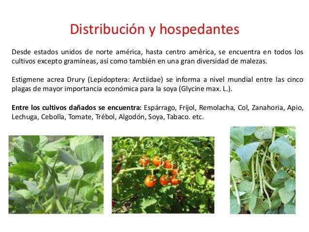 La maleza preferida es Amaranthus spp., aunque otras como Gonolobus sp., Cassia tora, Eupatorium capillifolium, Physalis s...