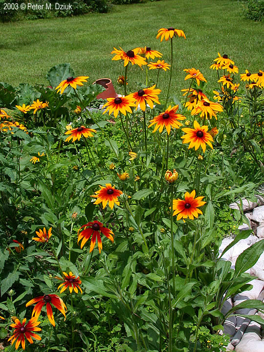 Rudbeckia Hirta Black Eyed Susan Minnesota Wildflowers