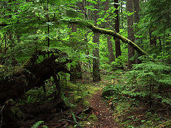Vine Maple Arch Over Trail