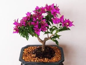 Bougenvillea Bonsai