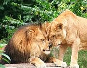 Juma e la sua compagna Shiba, i due leoni del giardino zoologico di Pittsburgh (dal sito dello zoo)