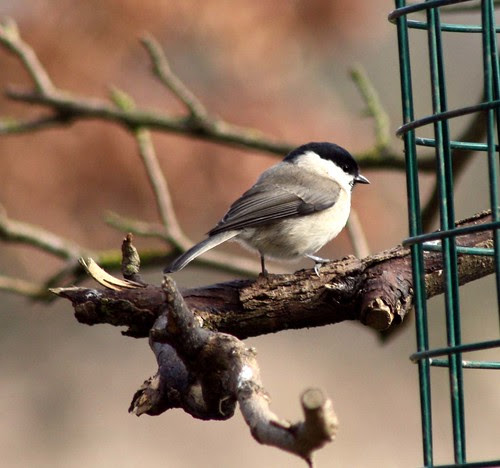 Marsh or Willow Tit