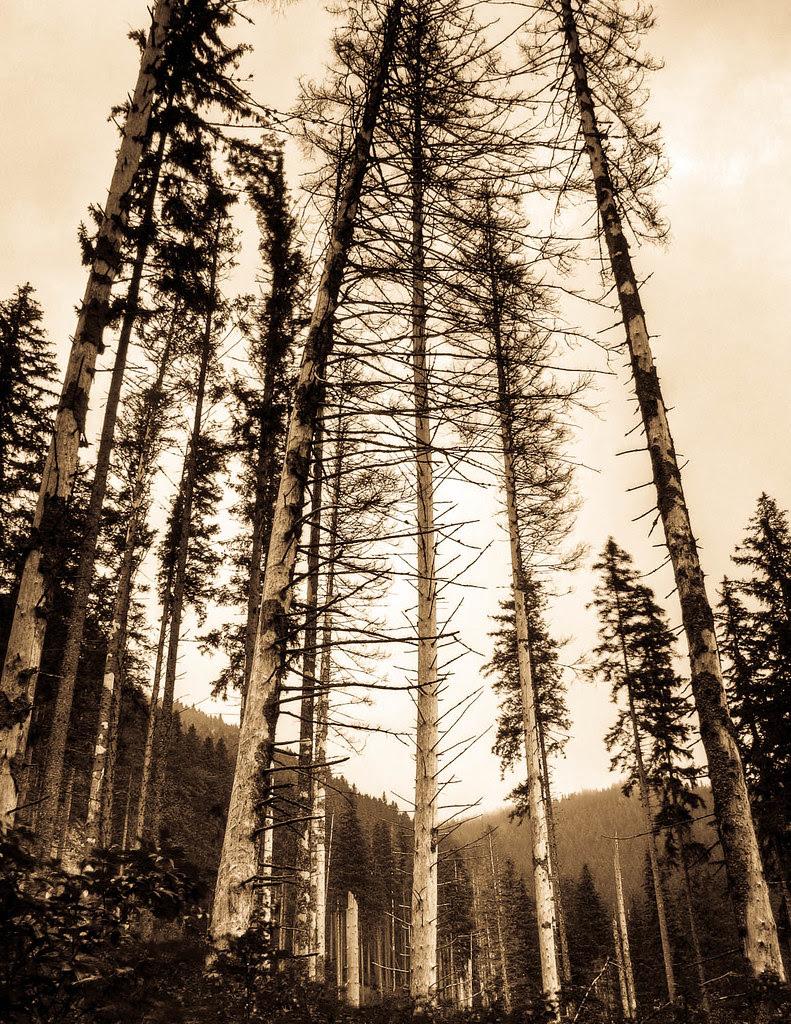 Ceahlău Massif Trees I