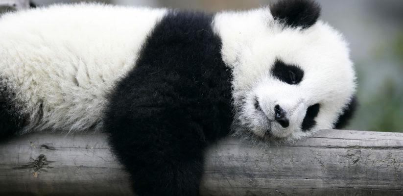 AK58HY Giant Panda Cub
