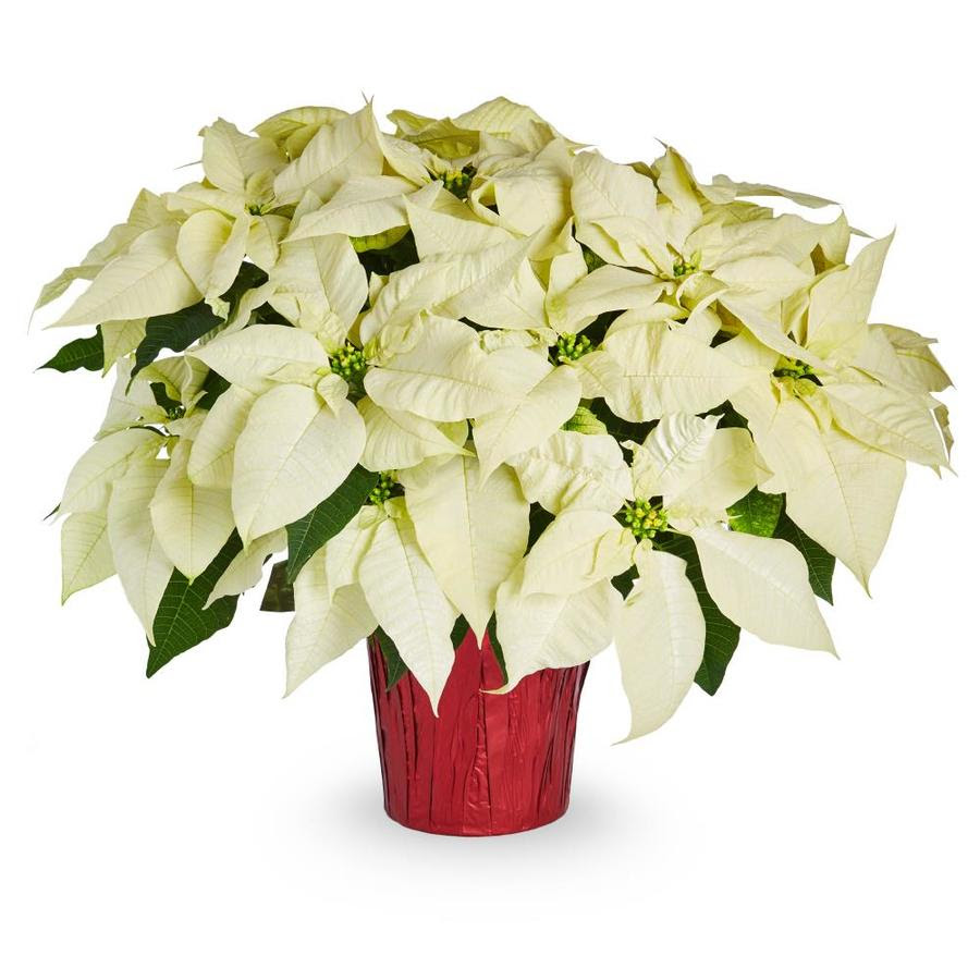 3 5 Quart White Poinsettia In Pot In The Annuals Department At Lowes Com