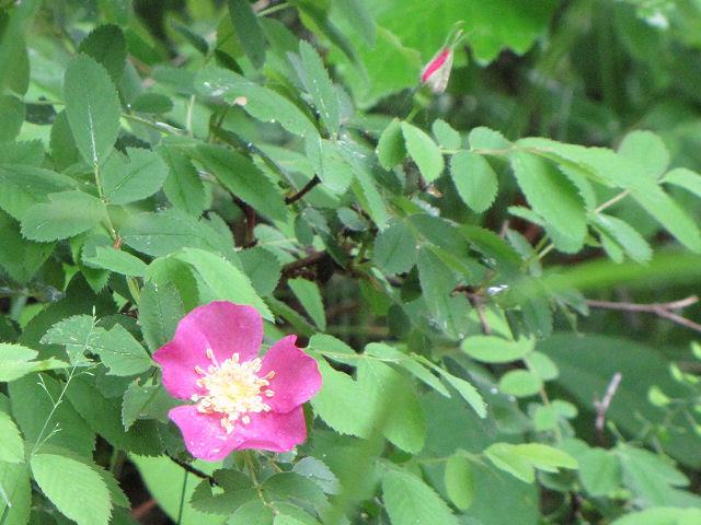 smooth rose