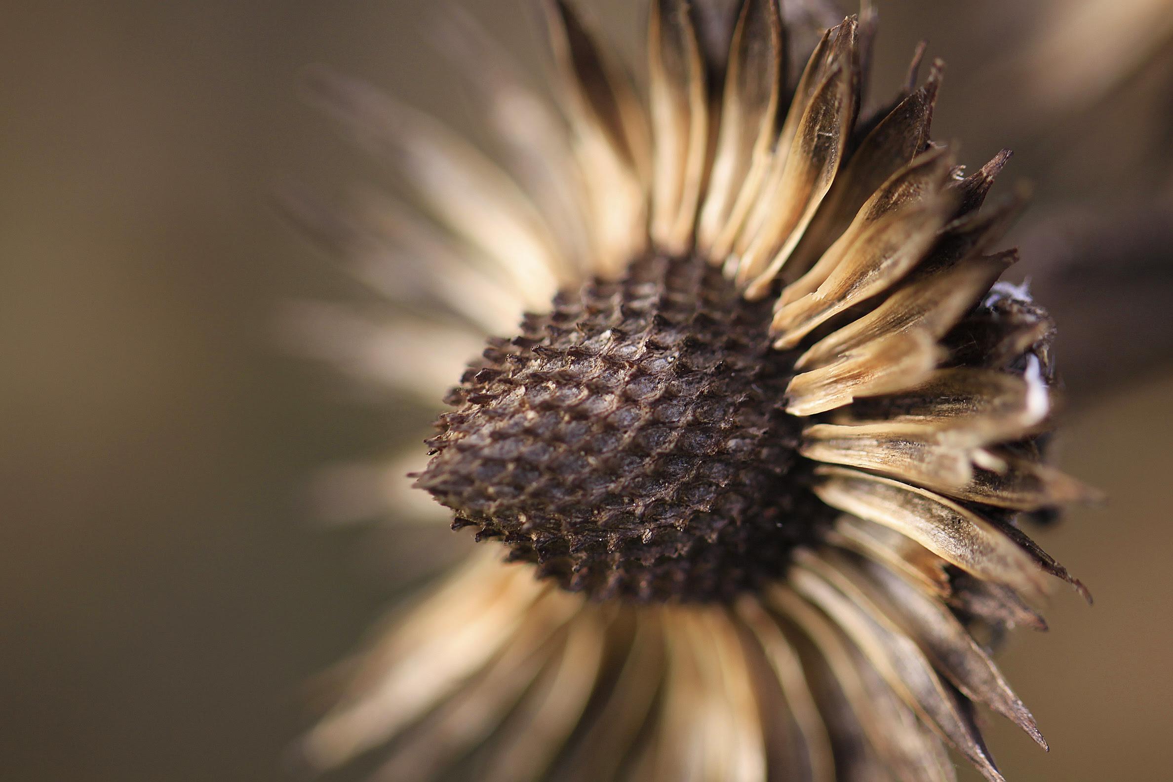 coneflower dead gold