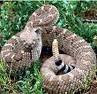 rattlesnake image from google website