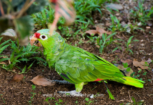Red-lored Parrot Fight Winner