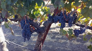 Grapes at Opolo