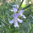 Aceite esencial de romero, propiedades y usos medicinales
