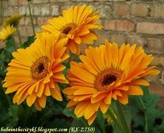 ch - cv orange gerberas 02