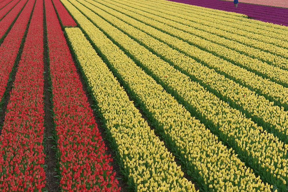 Κόκκινο, κρέμα και μοβ τουλίπες, θέα από την ολλανδική αναχώματος