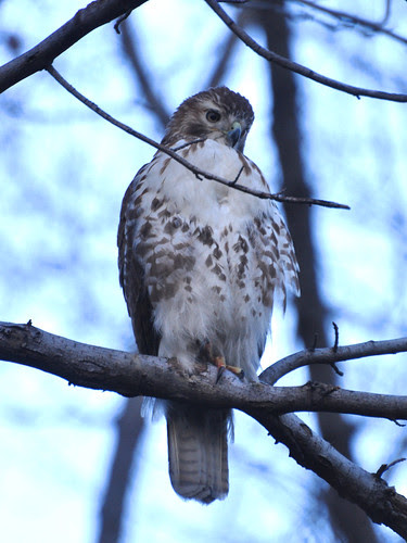 North Woods Juvie Red-Tail