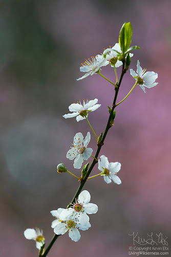 Cherry Blossoms, Solitary Branch, Snohomish County, Washington