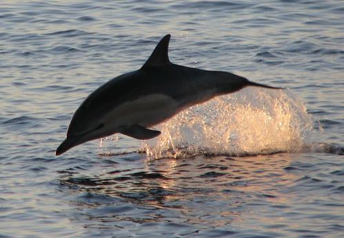 npac dawn dolphin