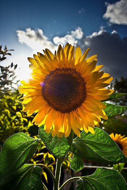 My signature flower in a world full of weeds. My Sunflower will shine forever.