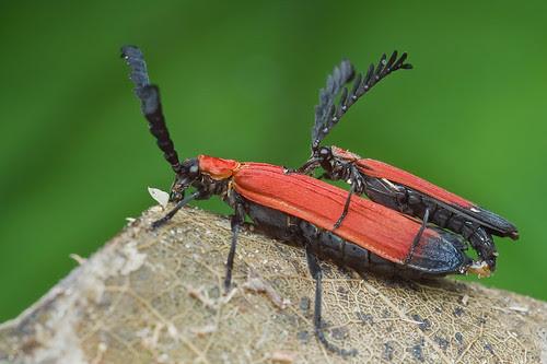 mating pair of Lycidae beetles IMG_9903 copy