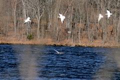 snow geese 059