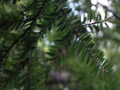 Blurry Evergreen