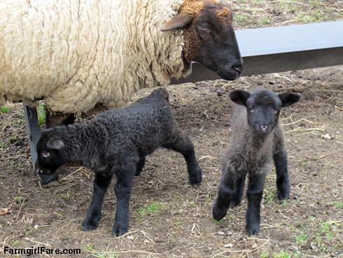 Curious little lambs (1) - E-4 and her twins - FarmgirlFare.com