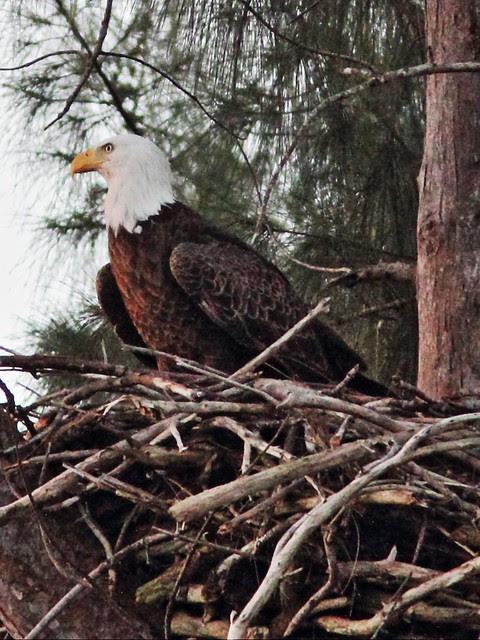 Bald Eagle female at nest 03-20131019