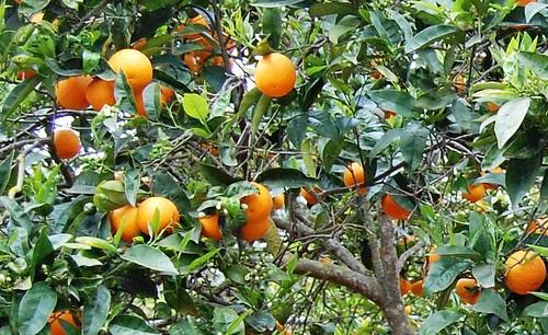 naranjas en Es Canar DSC_1123