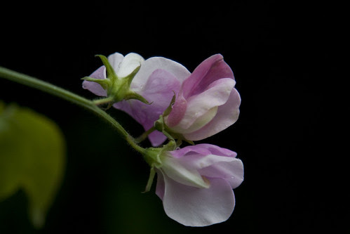 garden sweetpeas