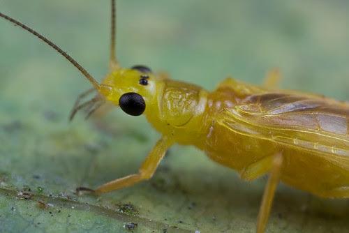 Beautiful stonefly....IMG_0235 DT copy