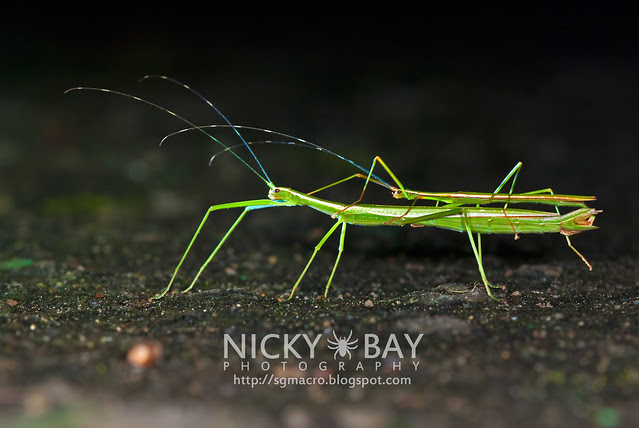 Stick Insects (Phasmatodea) - DSC_0536