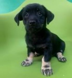 Anna – 2 month old female Cross-Breed