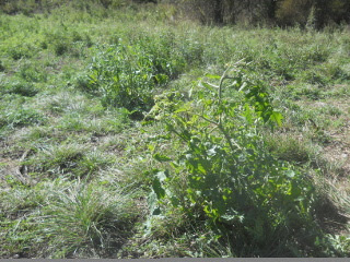 Other Tomato Plants After Freeze