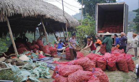 Một điểm thu mua gừng ở thị trấn Mường Xén, huyện Kỳ Sơn