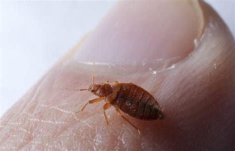 Bed Bug Pictures   Bed Bug Exterminators in NYC, Brooklyn, Queens