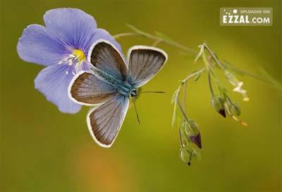 butterfly in the purple flower Gambar Rama Rama yang Sangat Cantik dan Menakjubkan