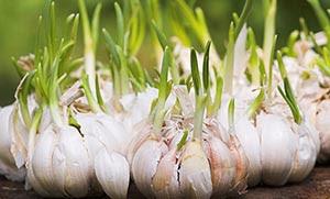 Θυμάρι, σκόρδο και εχινάκια σκοτώνουν την εποχική γρίπη