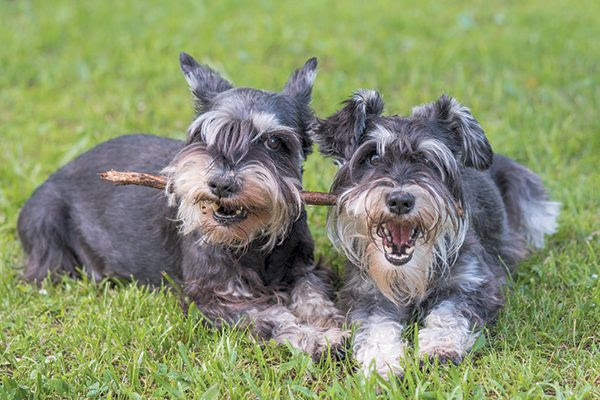 A Miniature Schnauzer requires frequent grooming. Photography ©Elen11 | Getty Images.