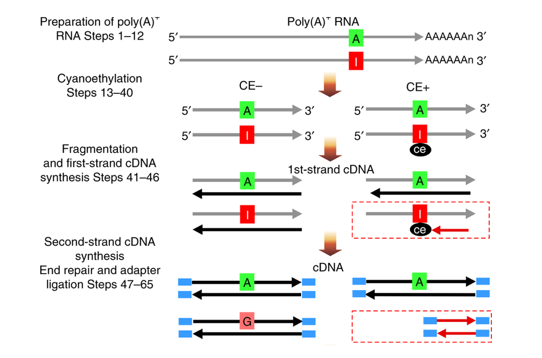 Ice Seq Transcriptome Wide Identification Of Adenosine